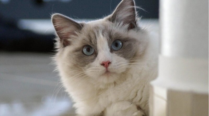 Ways To Improve The Appearance of a Ragdoll Cat